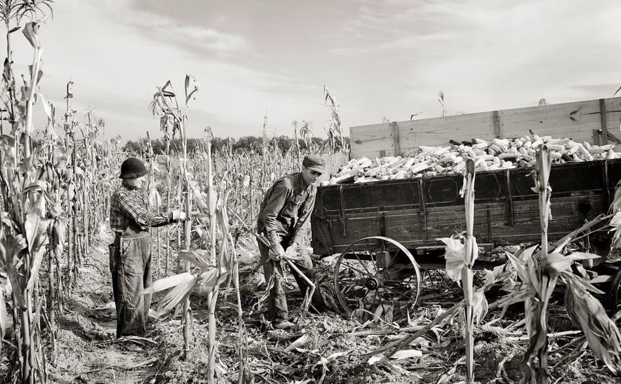 Small farm couple husband and wife hand picking and shucking field corn.