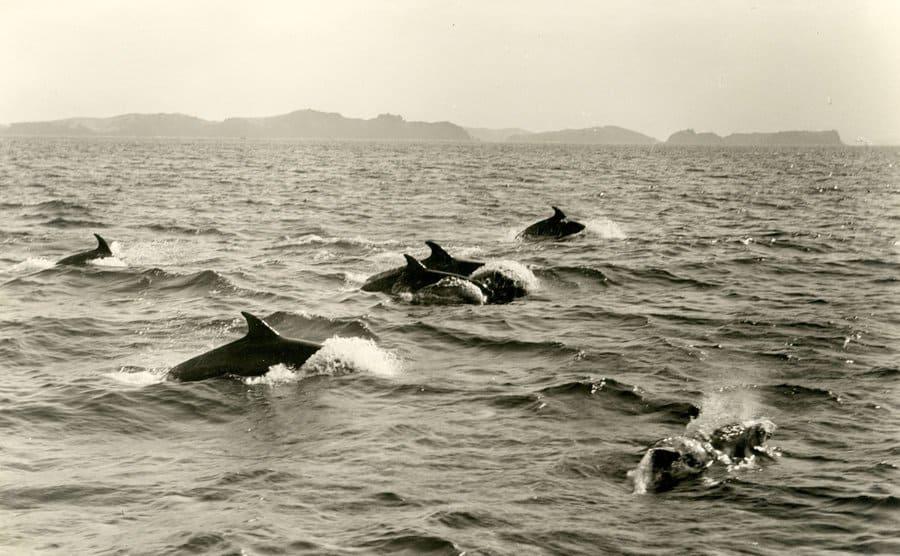 Porpoises jump through the sea.