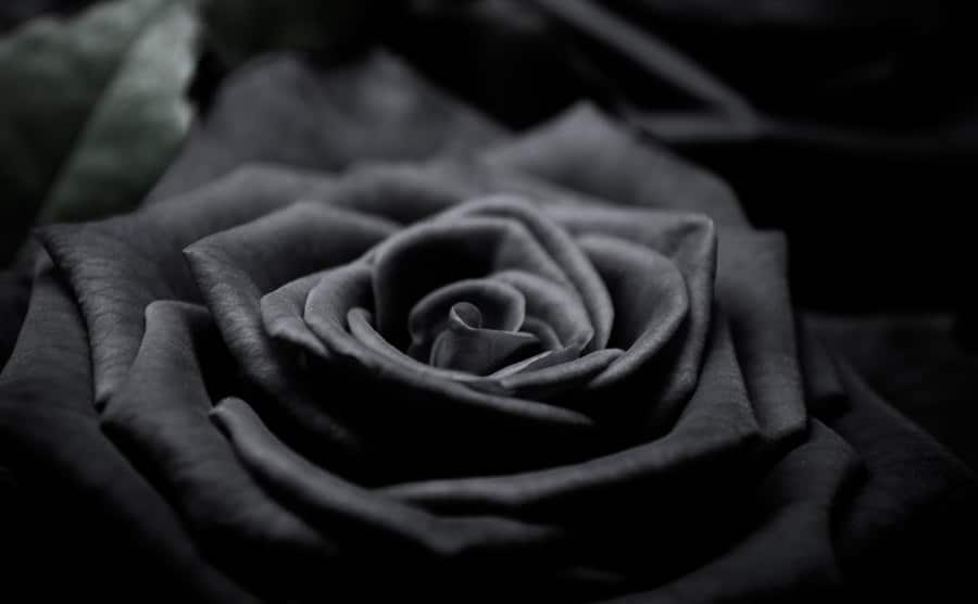 A picture of a black rose.